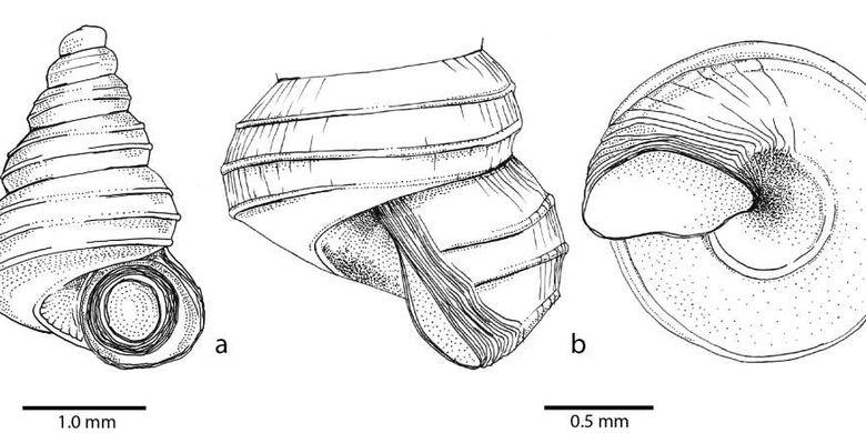 Spesies siput baru Craspedotropis gretathunbergae memiliki cangkang kerucut spiral yang tinggi.