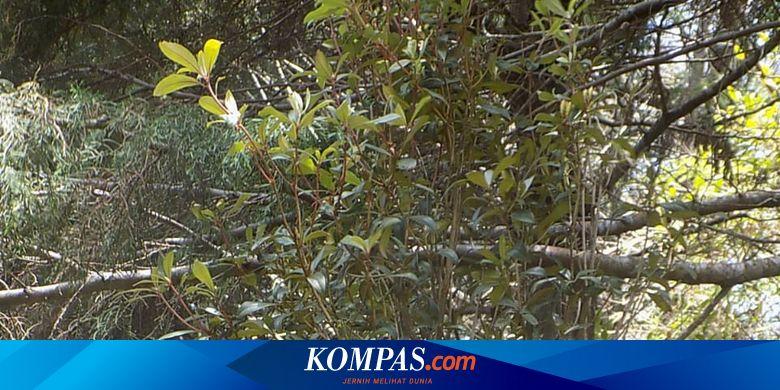Hilang 80 Tahun, Rhododendron loerzingii Ditemukan