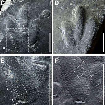 Cetakan kulit dari jejak dinosaurus ditemukan di Korea.