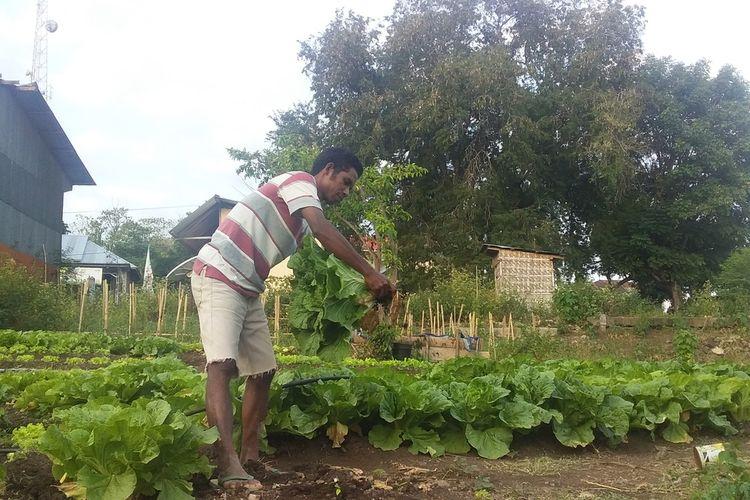Foto : Eduardus Edjo, merawat sayur-sayurnya yang ditana, di kebun dekat rumahnya di Jati Desa Golo Kantar, Kecamatan Borong, Kabupaten Manggarai Timur, NTT, Minggu (6/9/2020).