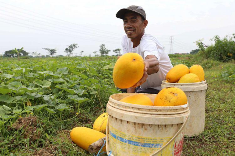 Petani memanen timun suri di Kunciran, Tangerang, Banten, Senin (21/05/2018). Timun suri menjadi salah satu buah favorit yang dijadikan bahan minuman untuk menu berbuka puasa.