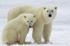 Ilmuwan Prediksi Beruang Kutub Punah Akhir Abad Ini