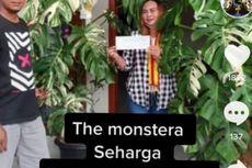 Dibeli dengan Harga Rp 700.000, Tanaman Hias Monstera Variegata Laku Dijual Rp 225 Juta