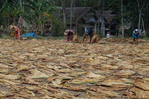 FCTC Dorong Peningkatan Impor Tembakau?