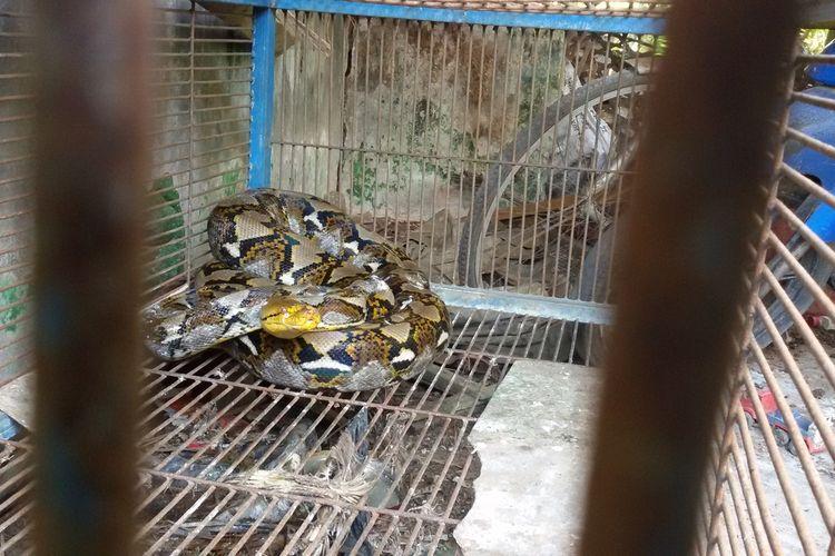 Ular dalam kurungan besi di rumah seorang warga Garongan 4, Wates, Kulon Progo, DI Yogyakarta. Ular kepala kuning ini diyakini sebagai jenis sanca kembang.