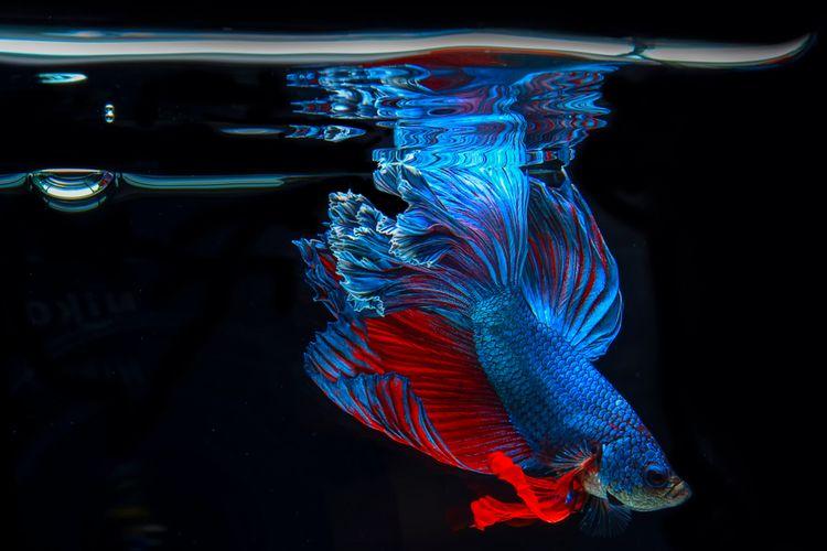 Ilustrasi ikan cupang di akuarium.