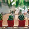 6 Penyebab, Tanda-Tanda dan Cara Mencegah Tanaman Kaktus Agar Tak Mati