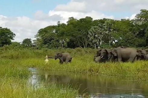 Buaya Bertarung Melawan Gajah, Siapa yang Menang?