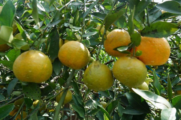Teknologi Bujangseta disinyalir dapat menambah masa panen hingga 5 kali dalam satu tahun dan dapat meningkatkan kualitas buah menjadi kualitas premium. Seperti yang diterapkan di Kebun Percobaan Kliran di Batu, Malang.