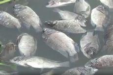 Sekitar 80,5 Ton Ikan Mati Mendadak di KJA Waduk Jatiluhur