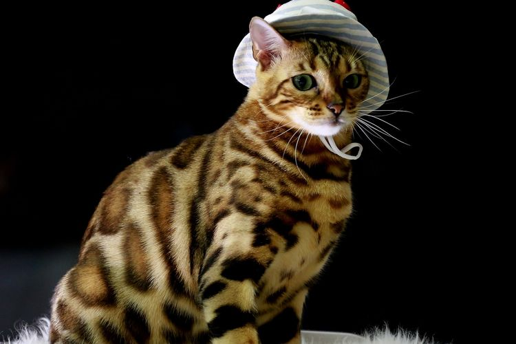 Ilustrasi kucing Bengal.