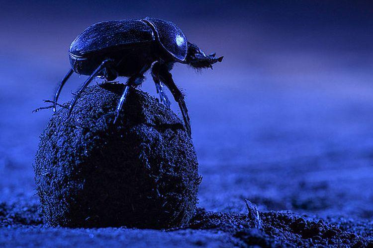 Kumbang kotoran nokturnal bersiap untuk menggulung kotoran