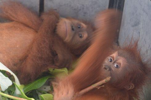 Dua Bayi Orangutan Diamankan di Langkat, Diduga Akan Dijual oleh Sindikat Perdagangan Satwa Dilindungi