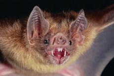 Temuan Baru, Kelelawar Vampir Adopsi Bayi dari Induk Lain yang Mati