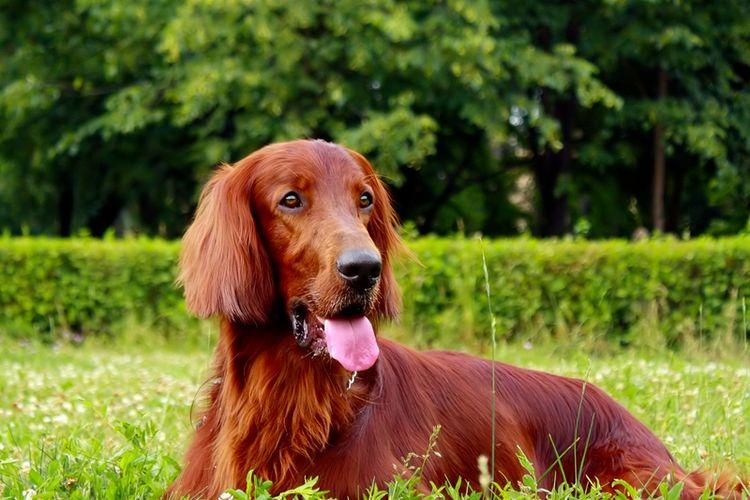 Ilustrasi anjing ras irish setter.