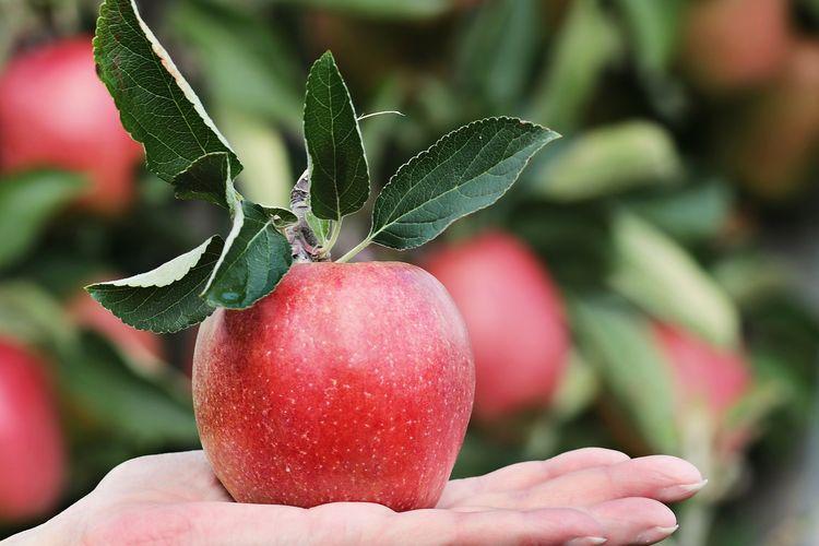 Buah apel tinggi akan karbohidrat. Buah ini bisa menjadi camilan sehat yang mengenyangkan.