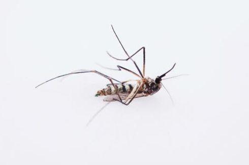 Berapa Lama Masa Hidup Nyamuk?