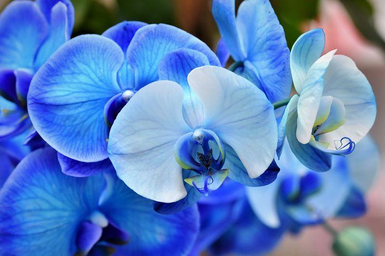 Ilustrasi bunga anggrek berwarna biru.