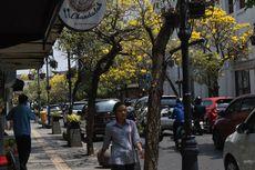 Bermekaran, Indahnya Bunga Tabebuya di Jalan Braga, Bandung