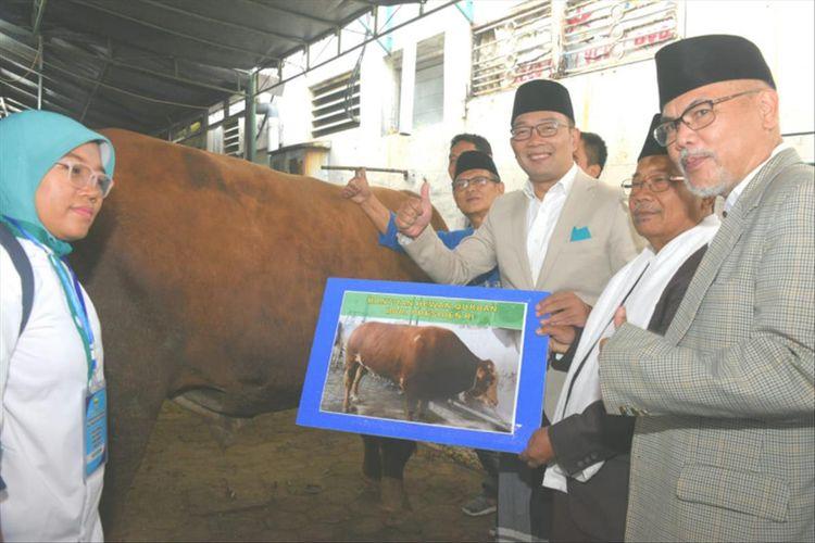 Gubernur Jawa Barat Ridwan Kamil saat menyerahkan sapi seberat 652 kg kepada DKM Masjid Raya Bandung Provinsi Jawa Barat dalam momentum Idul Adha 1440 H, Senin (11/8/2019).