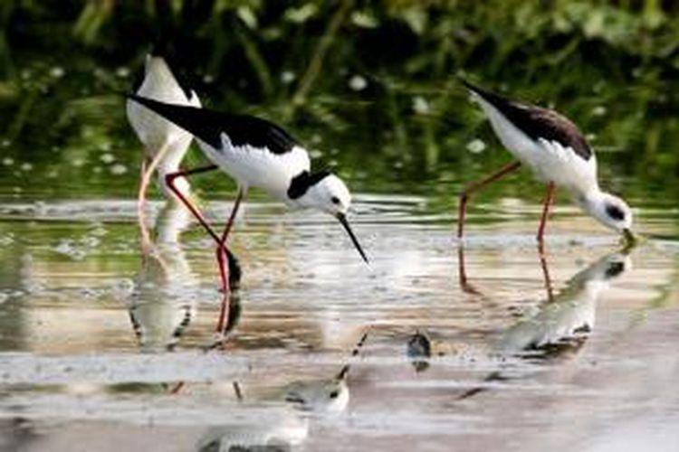 Danau Limboto di Gorontalo adalah rumah bagi banyak spesies burung, terutama burung-burung air seperti Gagang Bayam Timur ini. Di hamparan danau yang dangkal ini burung Gagang Bayam Timur menghiasai keindahan bentang alamnya.