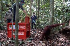 Susuri Sungai dan Terobos Hutan demi Kembalikan Orangutan