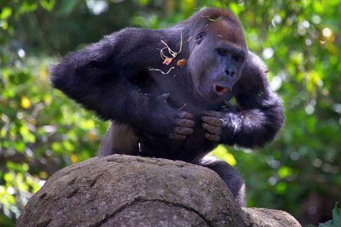 Mengapa Gorila Sering Pukul Dada Sendiri, Ini Penjelasannya