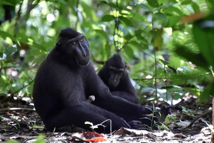 Monyet hitam Sulawesi (Macaca nigra) difoto di Cagar Alam Gunung Tangkoko Batuangus, Sulawesi Utara, Minggu (19/2/2017). Sebagai salah satu primata dengan populasi terancam di dunia, perburuan monyet hitam Sulawesi untuk dijual sebagai santapan masih tinggi.