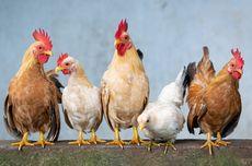 Cara Membuat Pupuk dari Kotoran Ayam