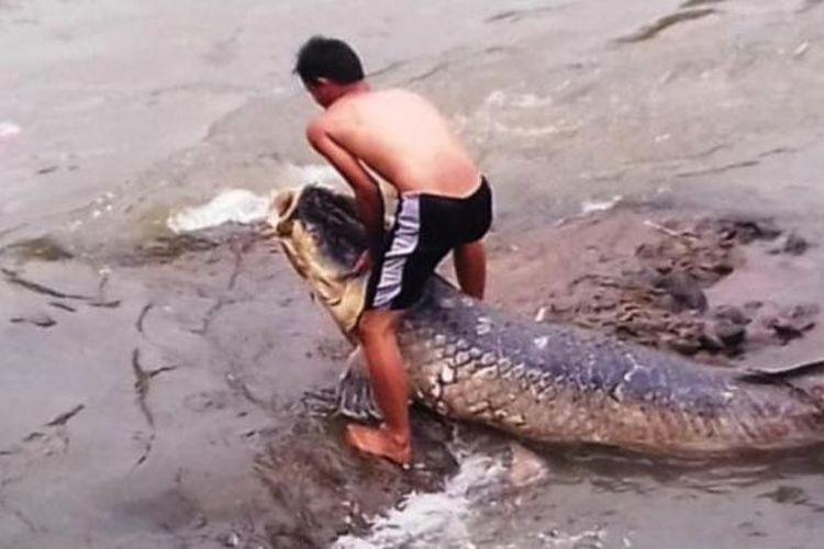 Warga mencoba mengangkat ikan Araipama gigas yang terdampar di Sungai Ciliwung, Kota Bogor, Minggu (29/11/2015).