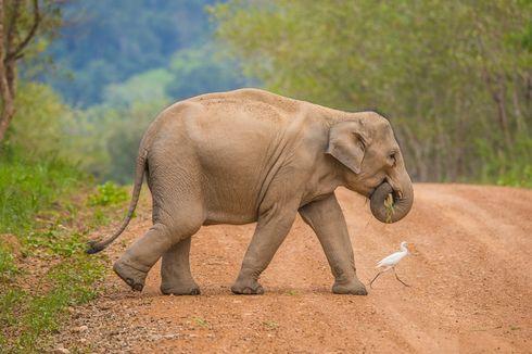 Studi Ungkap Cara Gajah Bersimpati pada Spesiesnya yang Mati