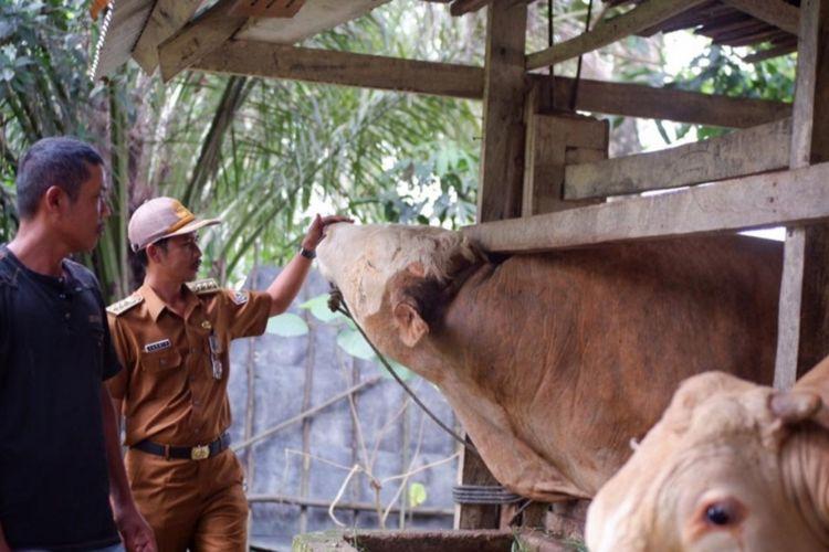 Sapi kurban Presiden Jokowi dengan berat 1 ton berasal dari kabupaten Konawe Selatan