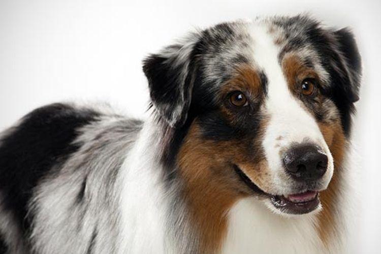 Anjing jenis Australian Shepherd.