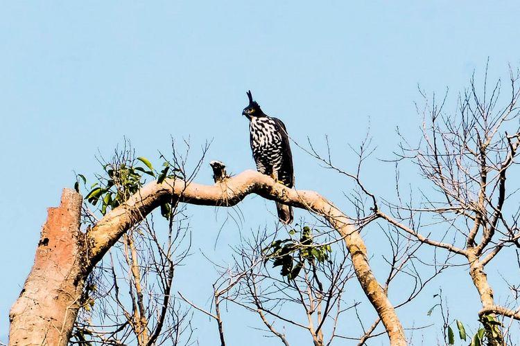 Elang Gunung (Nisaetus Alboniger) terpantau di kawasan konservasi Tahura Wan Abdurrahman, Pesawaran, Kamis (13/8/2020) pagi. Burung yang dilindungi ini adalah ?penghuni? asli kawasan konservasi tersebut.