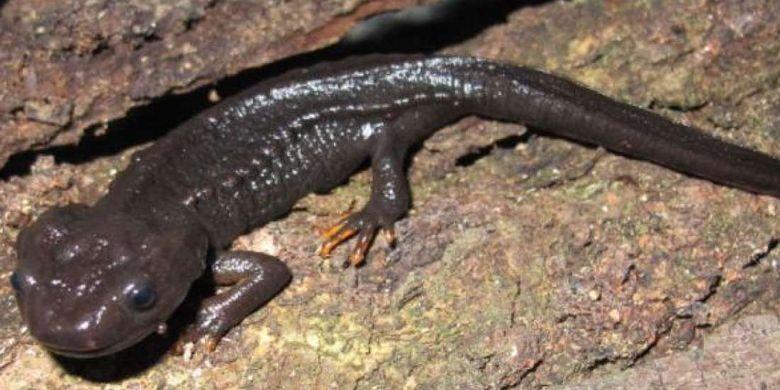 Subspesies kadal buaya baru ditemukan di Vietnam, Tylototriton pasmansi obsti. Namun,  subspesies ini sudah terancam punah.