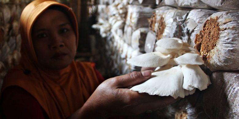 Sumarni sedang memanen jamur tiram, Minggu (28/4/2019). Sumarni merupakan salah satu pembudidaya jamur di Desa Kuniran, Kabupaten Ngawi, Jawa Timur