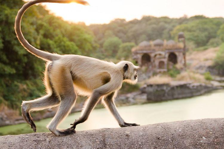 Ilustrasi monyet ekor panjang di India.