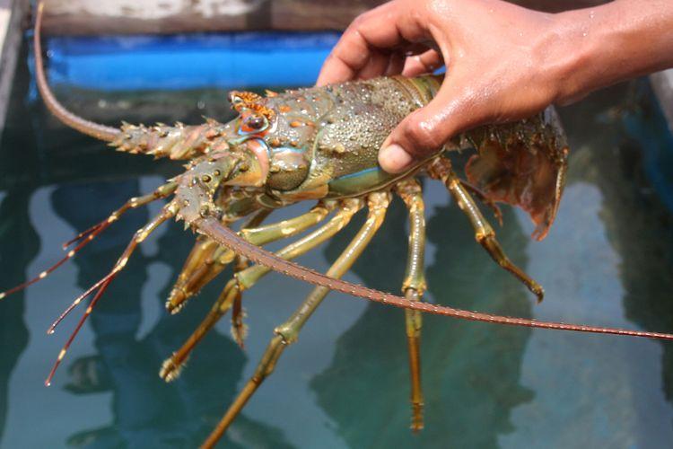 Kelompok nelayan binaan Pol Airut Polda Aceh membudidaya lobster di kawasan Laut Ulee Lheu, Banda Aceh. Kamis (09/07/2020). Bibit lobster yang dibudidayakan secara alami ini merupakan hasil tangkapan nelayan di perairan laut Aceh yang berukuran dibawah 200 gram yang dibeli dengan harga Rp 130 ribu, kemudian setelah satu bulan dirawat dan  diberi pakan alami lobster ini siap dipanen untuk diekspor dengan harga hingga Rp 700 ribu perkilohramnya.