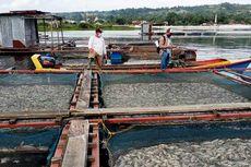 Ratusan Ton Ikan Mati Mendadak di Danau Toba