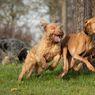 Berapa Lama Anjing Harus Berolahraga?