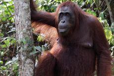 750 Orangutan Terancam Terusir oleh Perkebunan Sawit