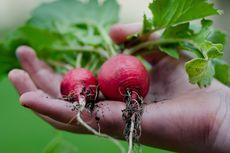 6 Sayuran yang Tumbuh dengan Cepat, Cocok Ditanam di Rumah