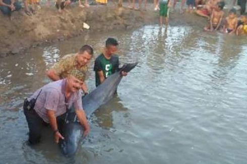 Lumba-lumba Sepanjang Tiga Meter Terdampar di Perairan Lhokseumawe
