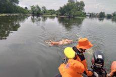 447 Ternak Babi di Kabupaten Karo Mati akibat Kolera