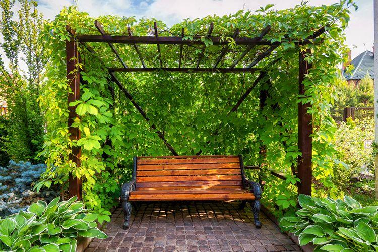 Ilustrasi tanaman rambat hingga membentuk kanopi.