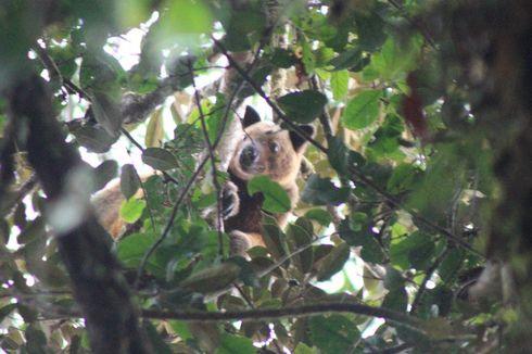 90 Tahun Menghilang, Kanguru Pohon Langka Muncul di Papua Barat