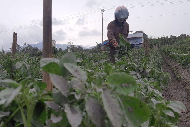 Petani saat membersihkan tanaman kentang yang terpapar abu vulkanik Gunung api Sinabung dengan menggunakan alat seadanya.