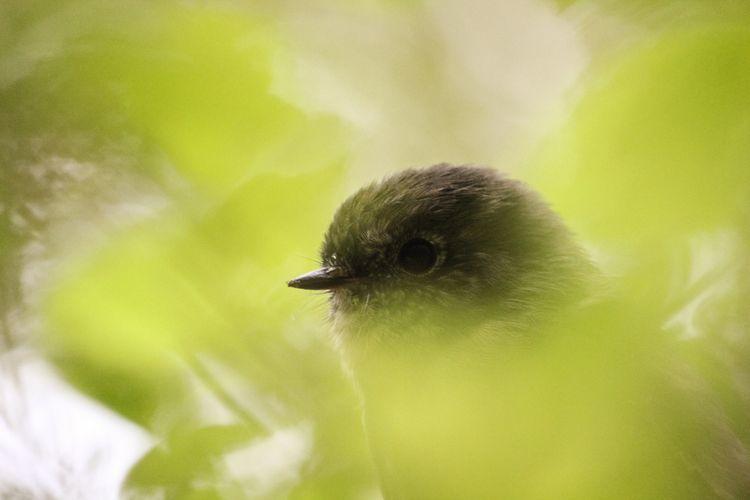 Ilustrasi bellbird