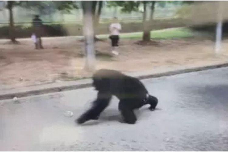 Gorila jantan berusia 12 tahun bernama Yang Yang ketika berjalan di Kebun Binatang Hefei, China, setelah lepas dari kandangnya.
