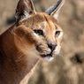 Caracal, Kucing Eksotis yang Bisa Jadi Hewan Peliharaan